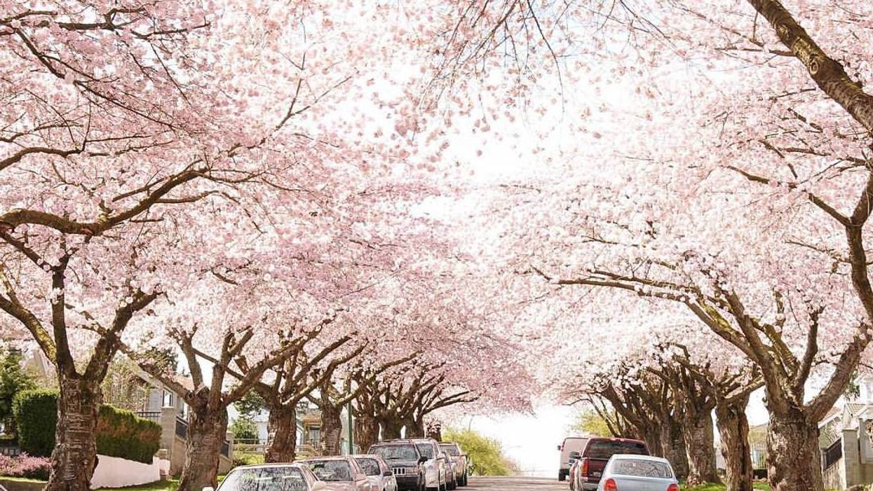 Vancouver's Cherry Blossom Festival Is Officially Coming Back For Spring 2019 And Here's When