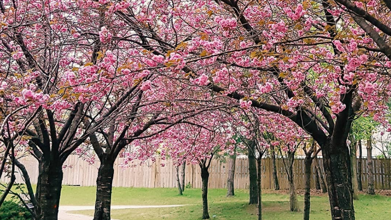 Tu peux voir des cerisiers en fleurs dans ce jardin en Ontario ce printemps et ça vaut 100% le roadtrip