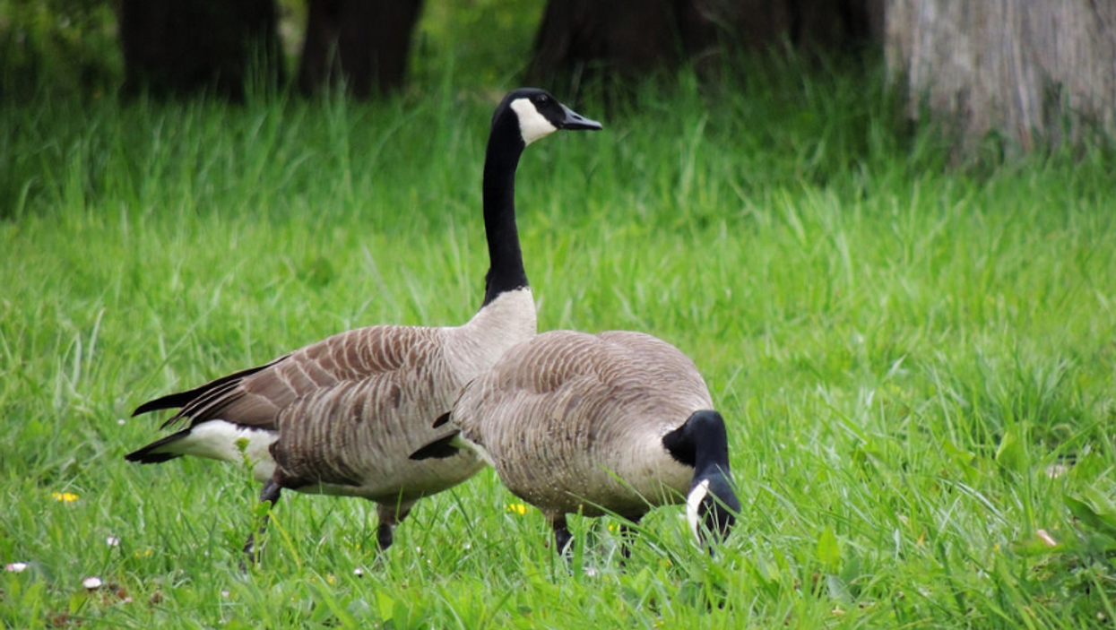 Canadian Geese Keep Getting Shot By Arrows In This Ontario City