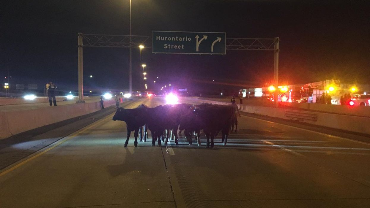A Herd Of Cows Got Loose On Highway 401 And Wreaked Havoc For Drivers This Weekend