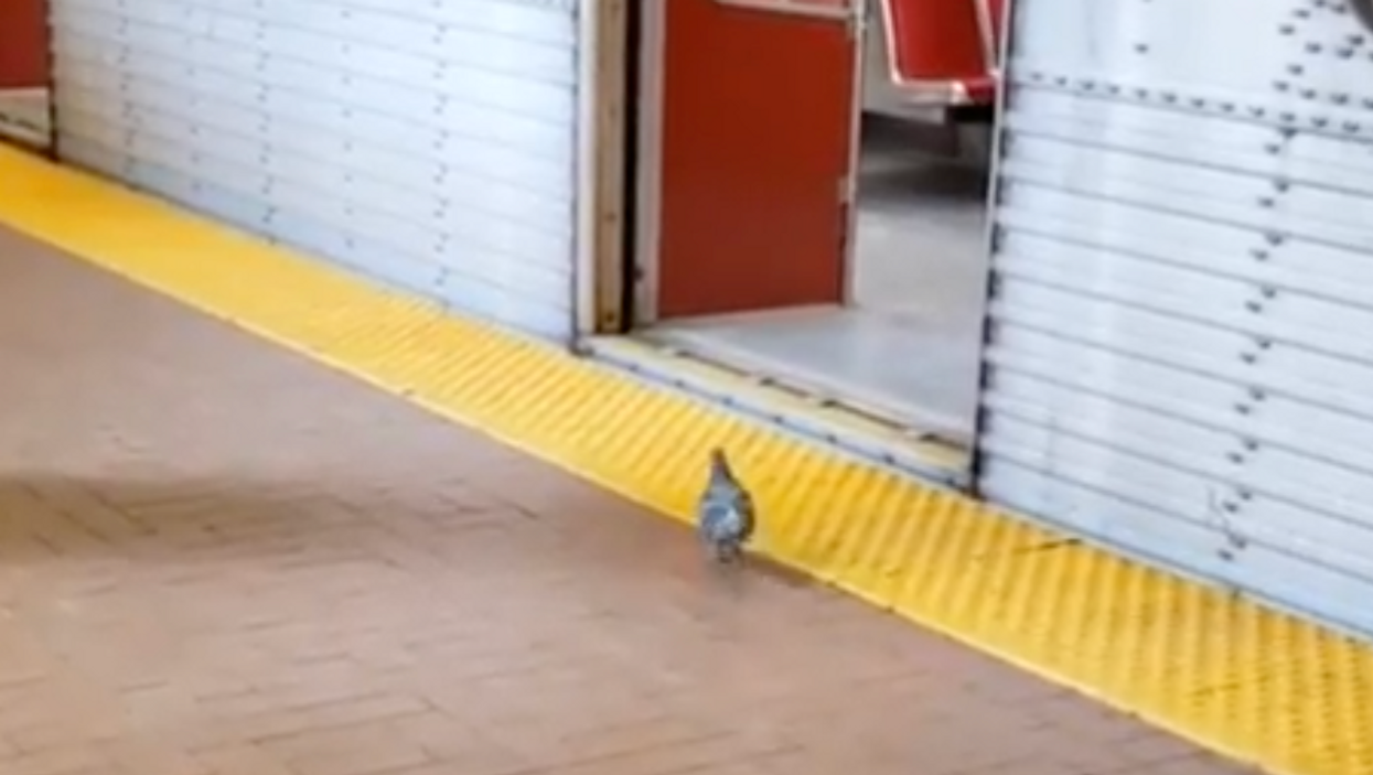 All The Proof You Need That Toronto Pigeons Have Better Subway Manners Than Most Humans (VIDEOS)