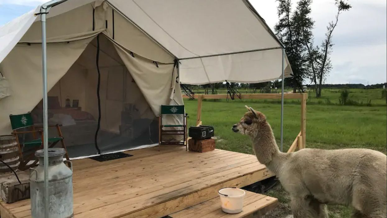 You Can Glamp With Alpacas For Super Cheap At This Florida Ranch
