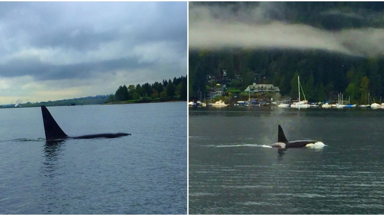 A Family Of Orcas Was Spotted Swimming Together In Canada During Rare Sighting (VIDEO)