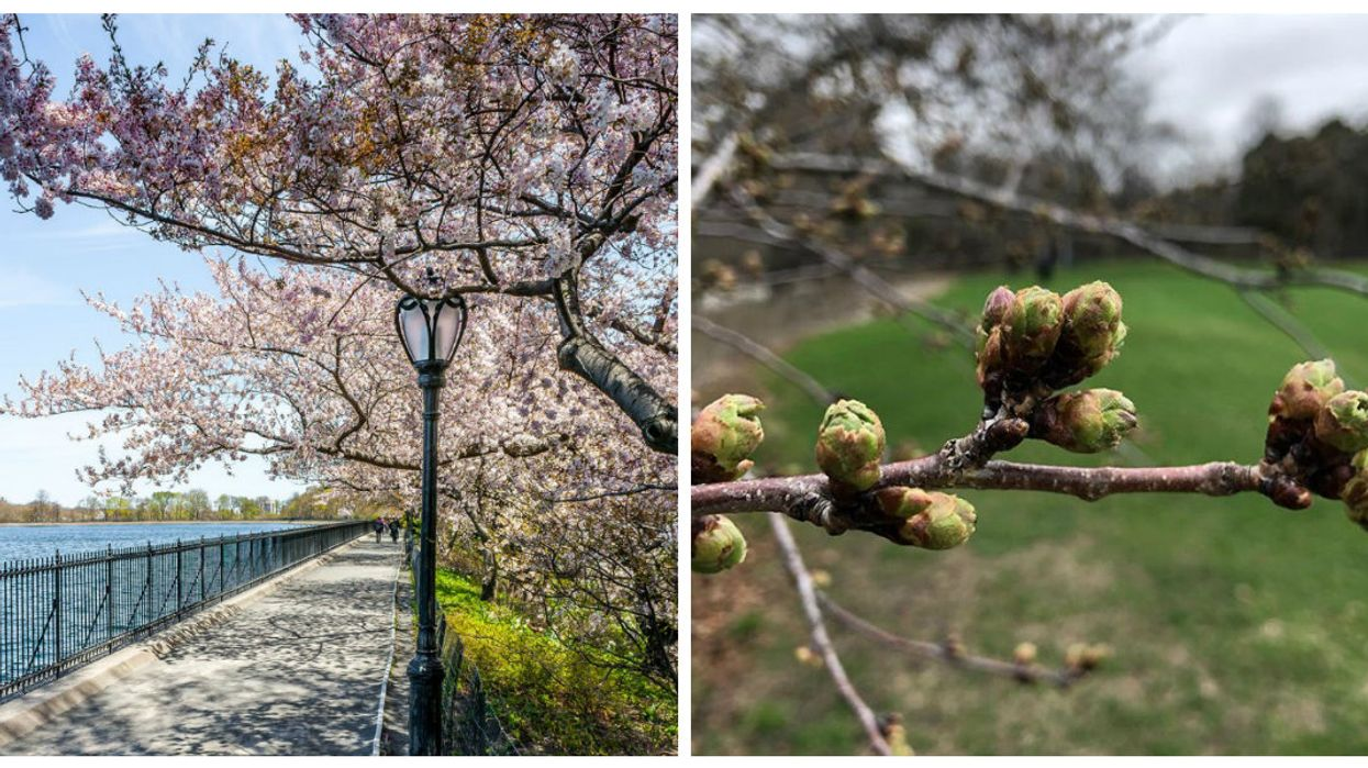 Toronto's Cherry Blossom Trees Are Finally Expected To Bloom Later This Week