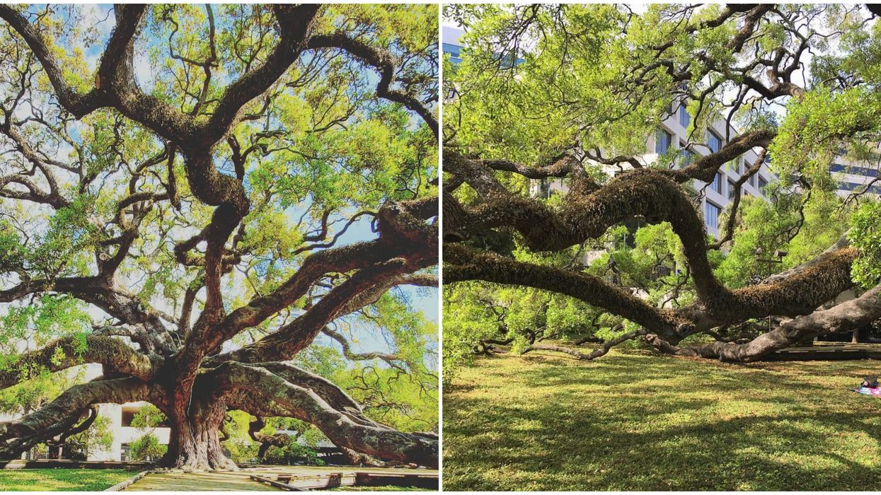 This Park In Florida Is Home To One Of The Oldest And Largest Living Oak Trees
