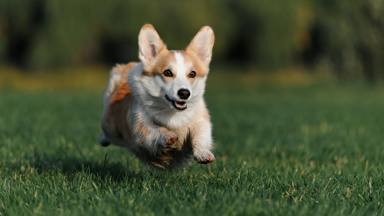 Corgi Races Are Actually A Thing In Canada And Here's Where You Can See Them