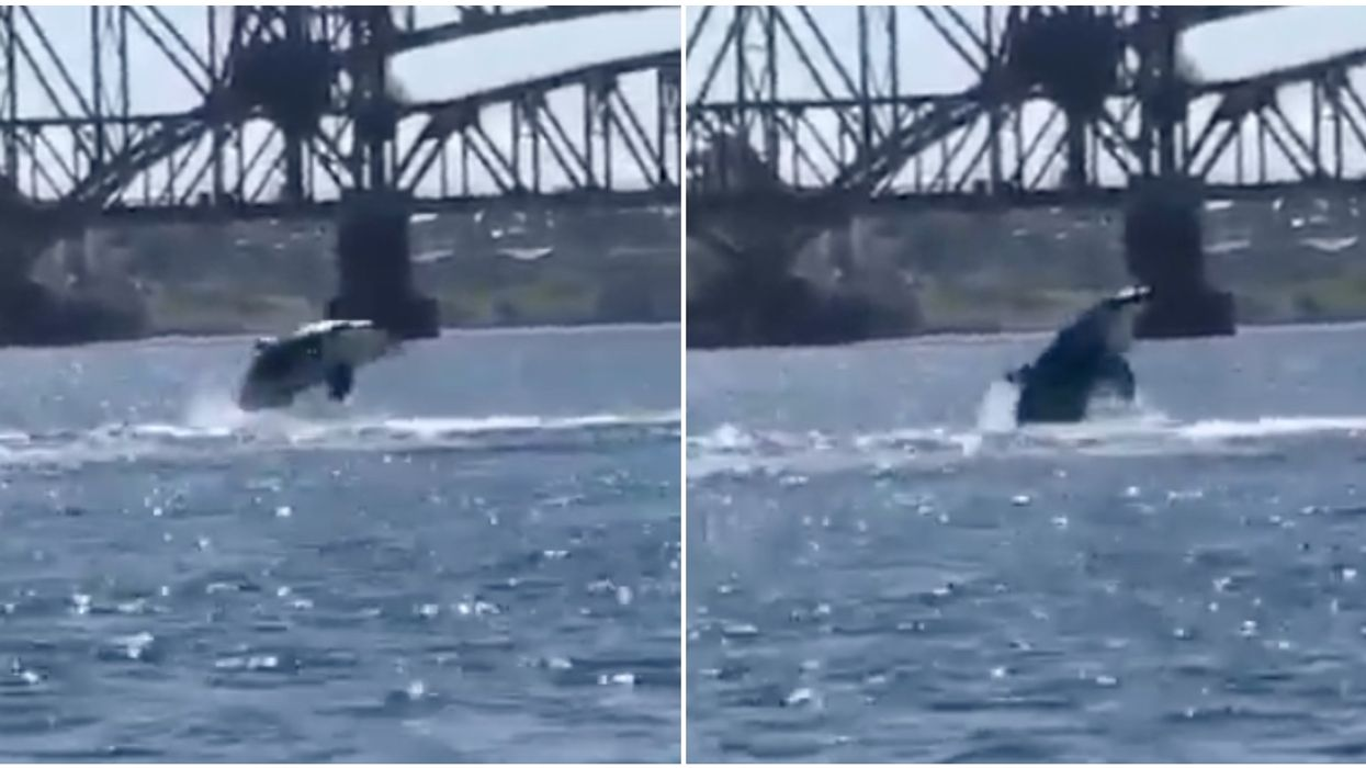 A Rare Pod Of Orcas Actually Forced A Ferry In Canada To Slow Down (PHOTOS)
