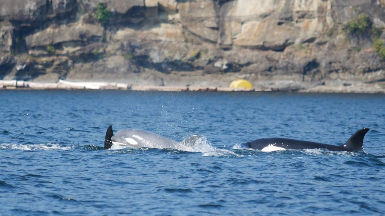 Very Rare 'White Orca' Spotted Off The Coast Of Vancouver Island