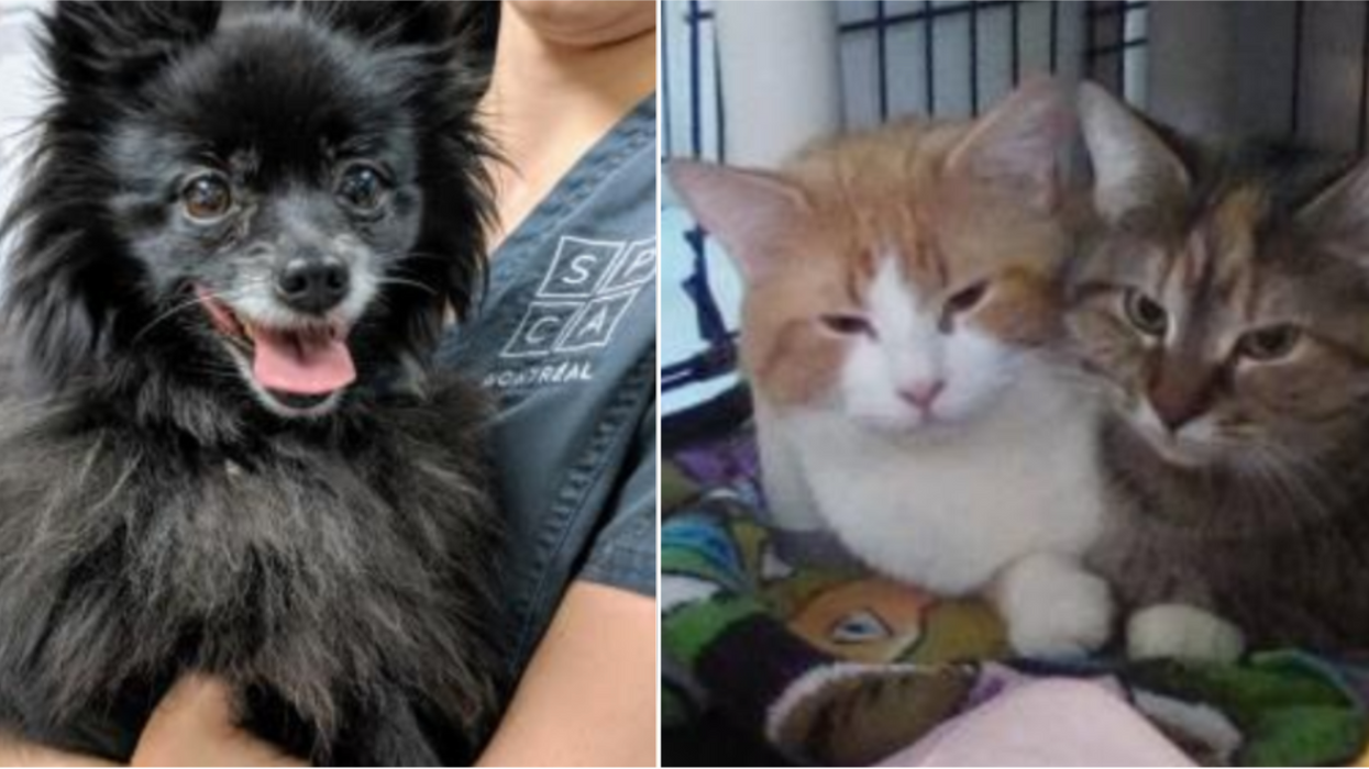 La SPCA de Montréal organise une journée d'adoption gratuite cette semaine seulement