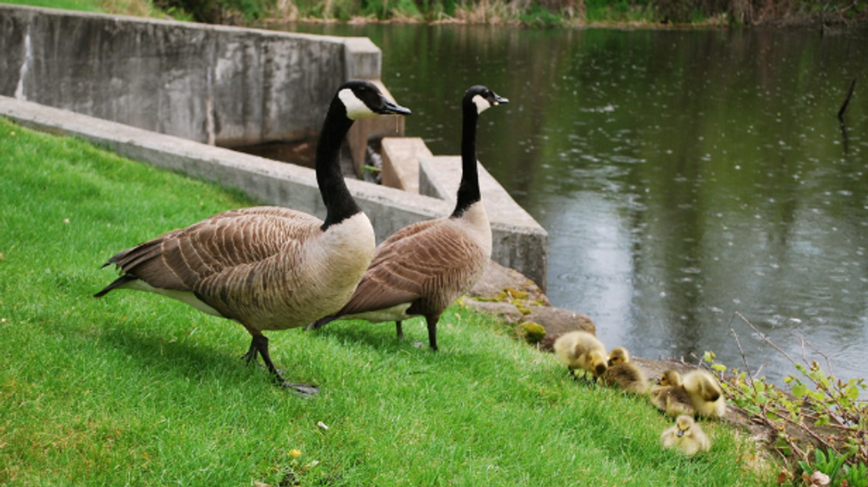 An American City Is Struggling With Their Canada Geese Population So They've Decided To Eat Them