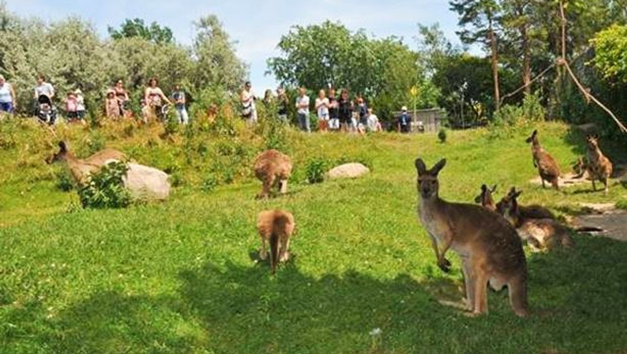 You Can Get Up Close And Hang Out With Kangaroos At The Toronto Zoo This Summer