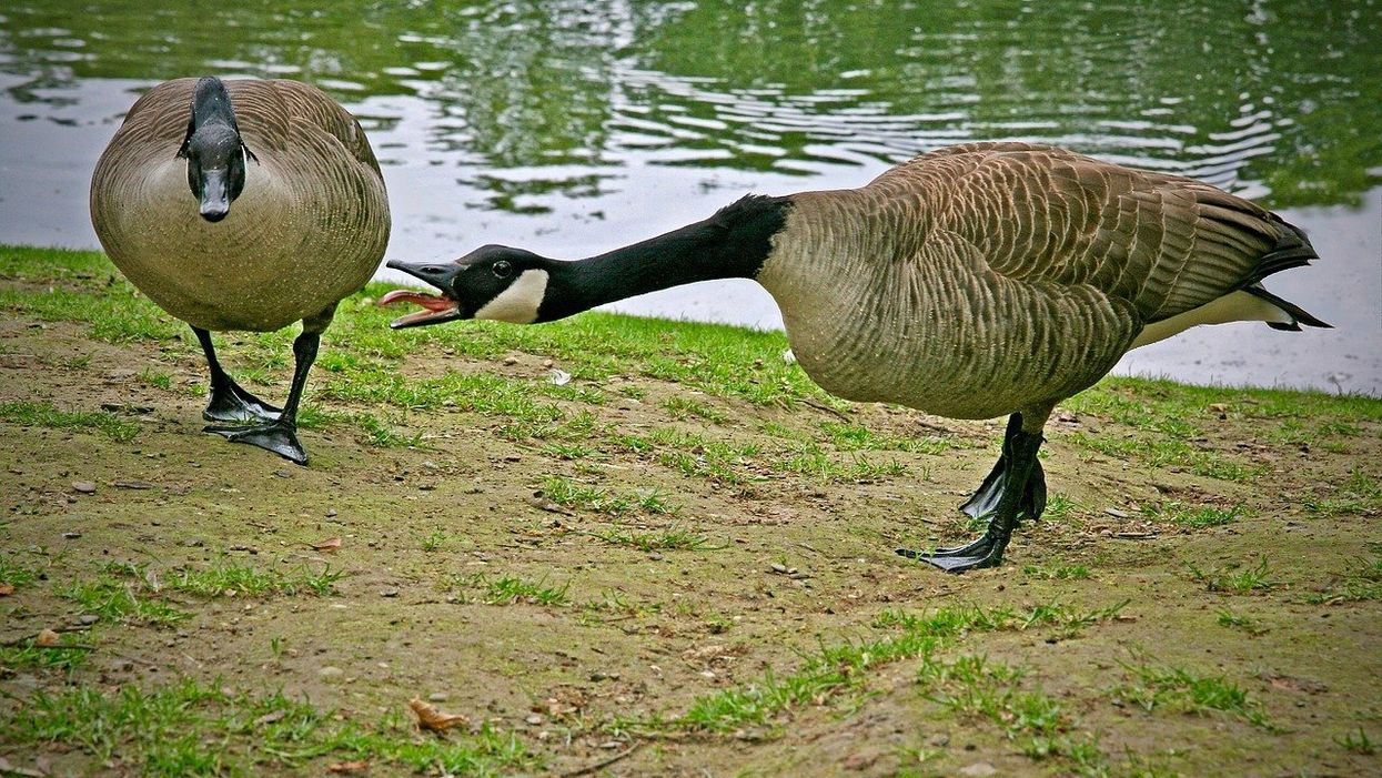 Brace Yourself, Canada Goose Season Is Coming Soon