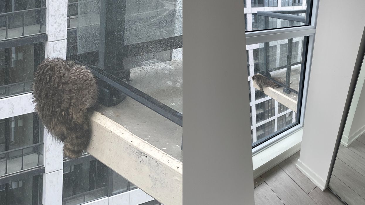 A Raccoon Was Heroically Rescued From A Toronto Balcony After Being Stranded For Days