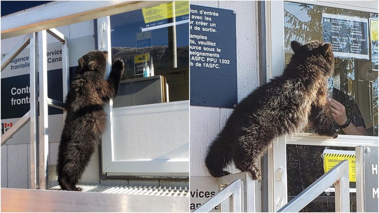 Canada-US Border Closure: Bear Cub Attempted To Cross Over & The Photos Are Perfect