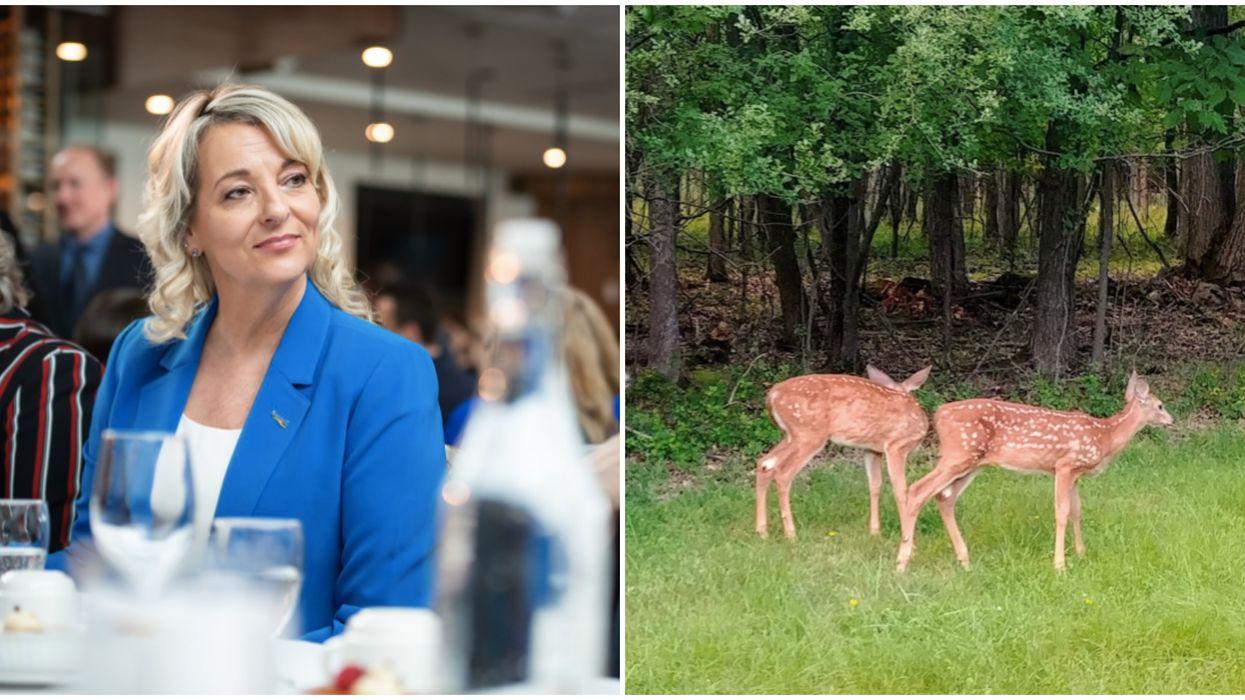 La mairesse de Longueuil a reçu des menaces en lien avec l'abattage de cerfs