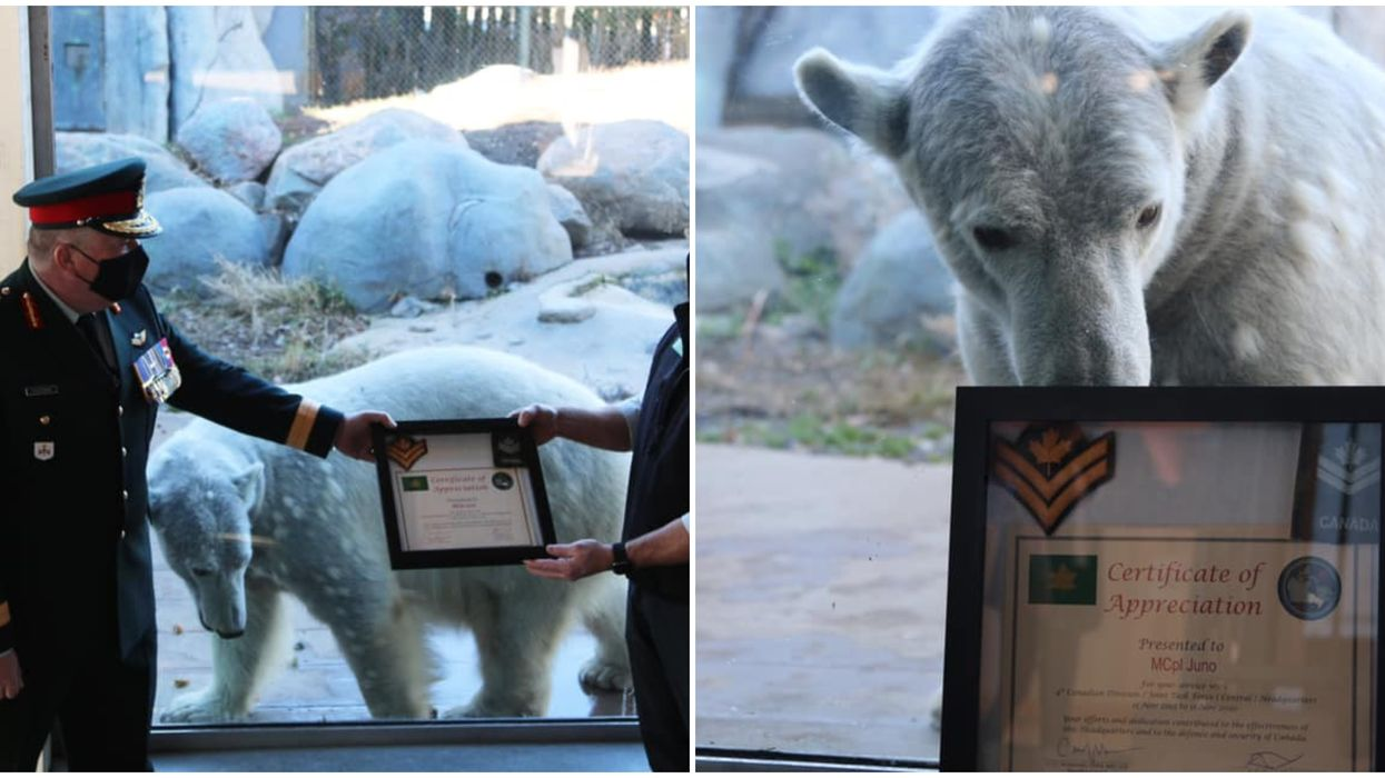 Toronto Zoo Polar Bear Was Just Promoted To Major Corporal Of The Canadian Army