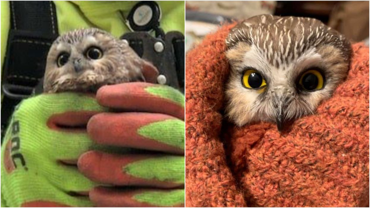 A Tiny Owl Was Found In The Rockefeller Christmas Tree & He's The Cutest Ever