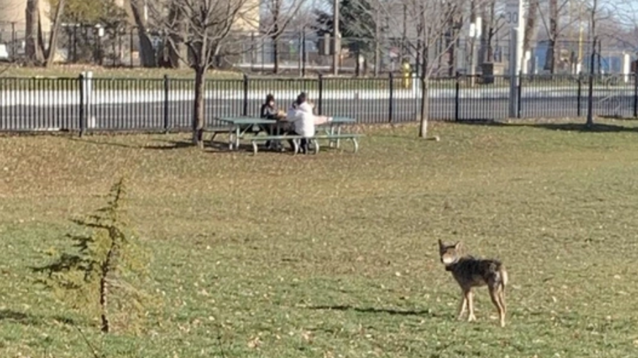 A Wild Coyote Was Spotted Prowling Around A Toronto Schoolyard During Recess (PHOTOS)
