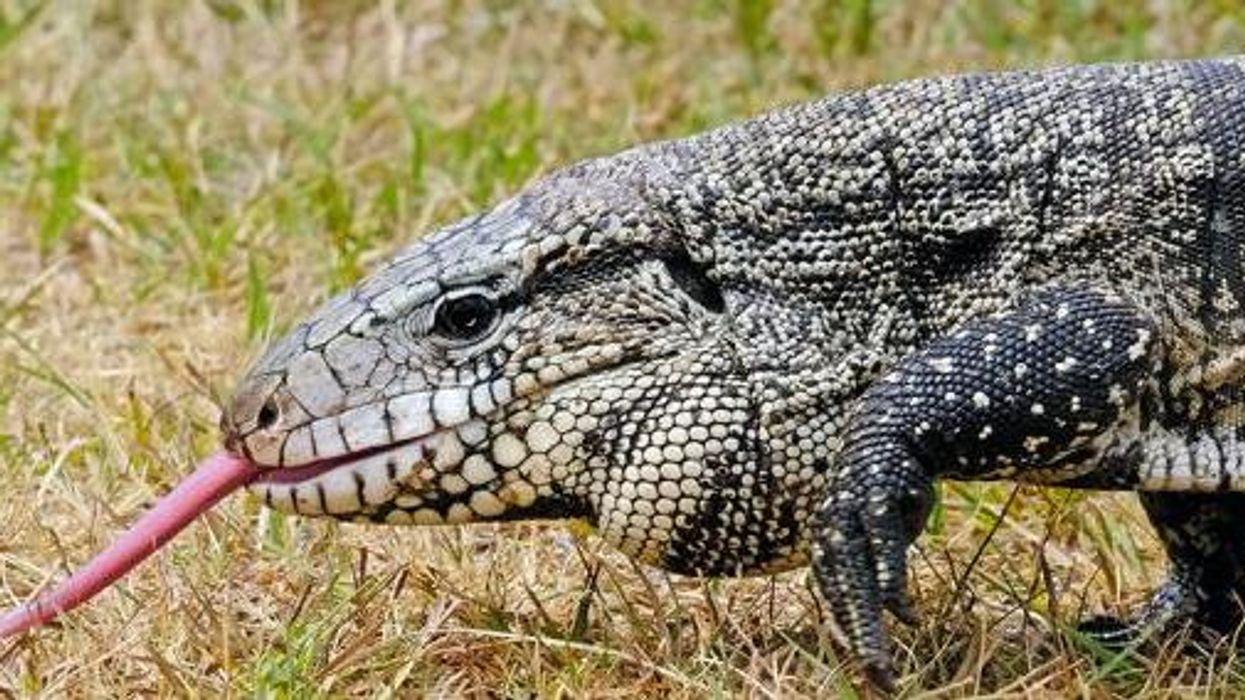 Argentine Black And White Tegus Georgia Wildlife Lizard