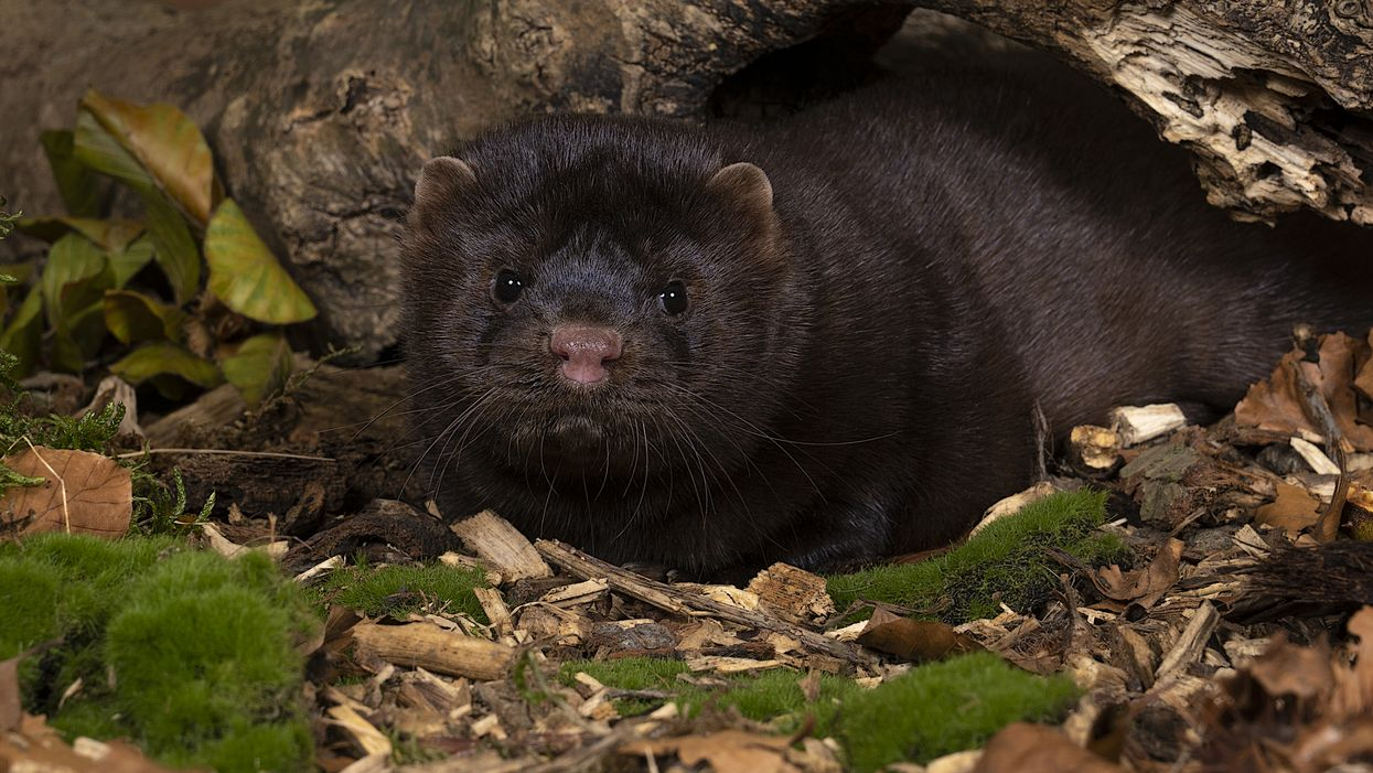 A COVID-19 Outbreak At A Canadian Mink Farm Has People & Animals Getting Tested