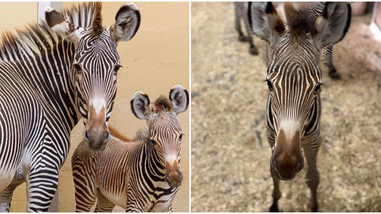 You Can Help Choose A Name For The Toronto Zoo's Baby Zebra & The Options Are Stellar