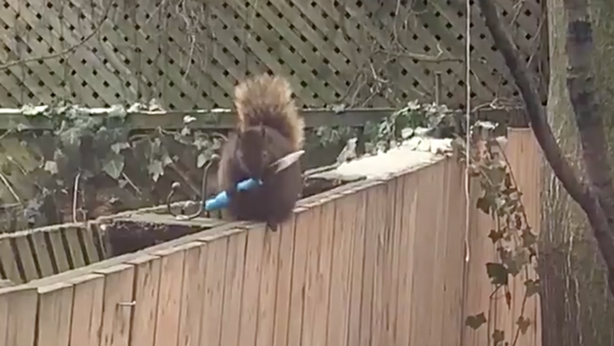 Knife-Wielding Squirrel Was Spotted Wandering Around Toronto (VIDEO)