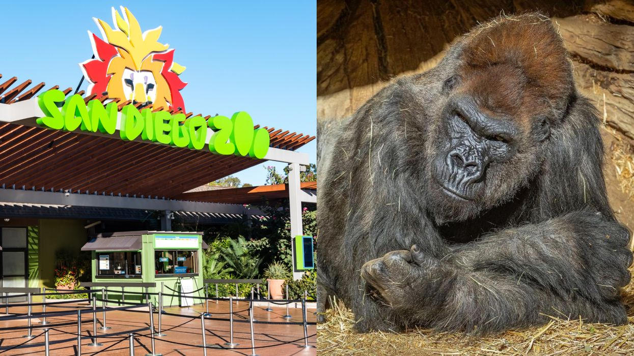 US Gorillas Tested Positive For COVID-19 For The First Time & They're Even Coughing