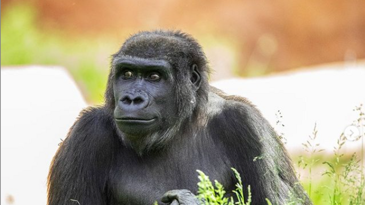 A Calgary Zoo Gorilla Is Having Her First Baby & They've Even Shared The Sonogram (PHOTO)
