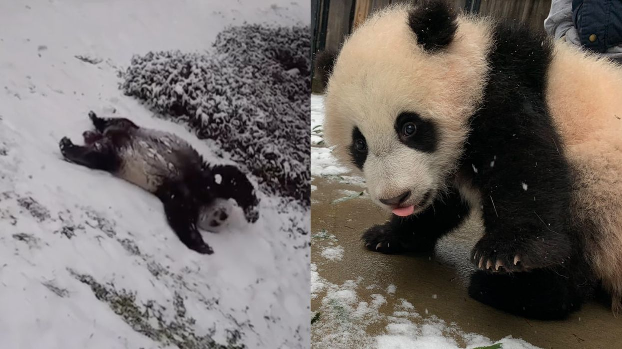 Giant Panda Family In The Snow Had The Best Time Rolling, Sliding & Tumbling (VIDEO)