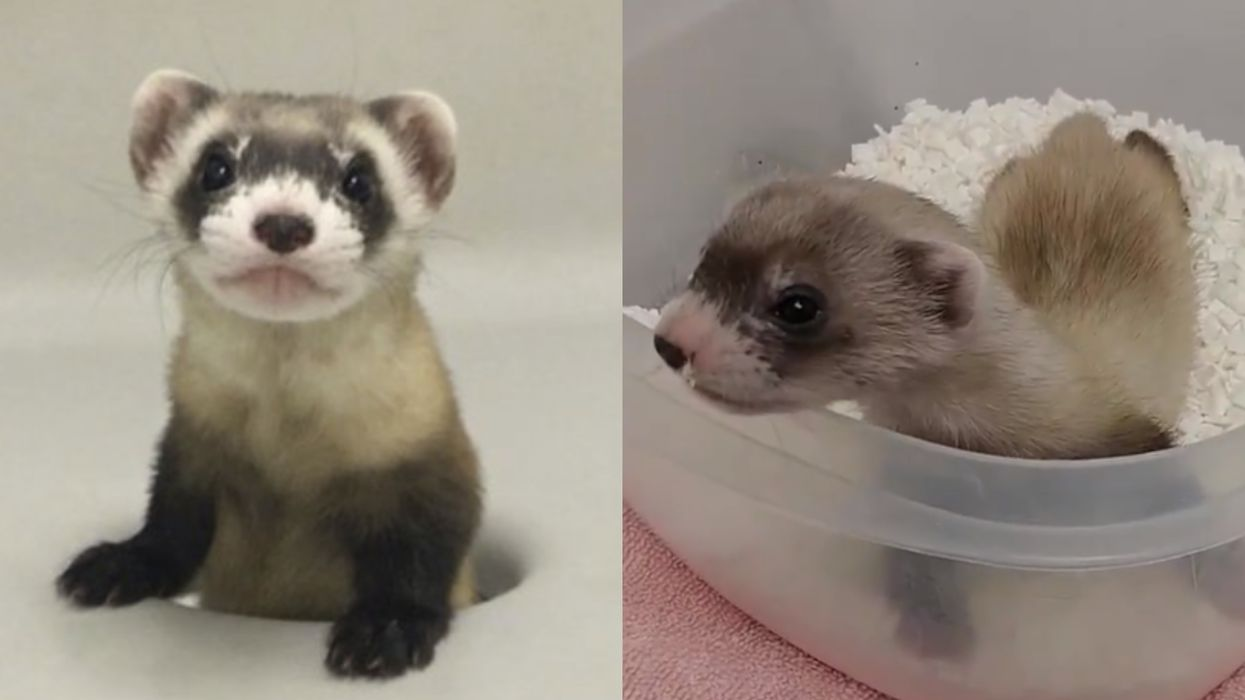 An Endangered Animal Was Just Cloned For The First Time In History & She's Adorable