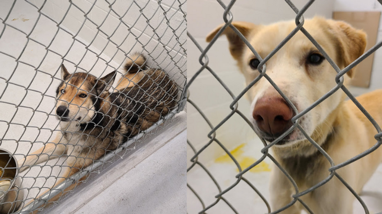 40 Dogs In Distress Were Just Rescued From A Sled Dog Operation In BC