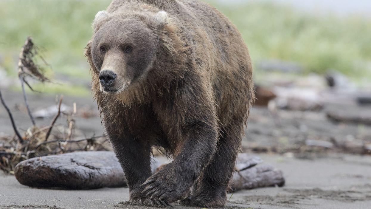 An Alaska Bear In An Outhouse Bit A Woman's Bare Butt