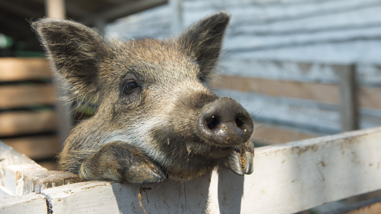 An Adorable Piggy Was Found All Alone In Ontario & She's Looking For A Home