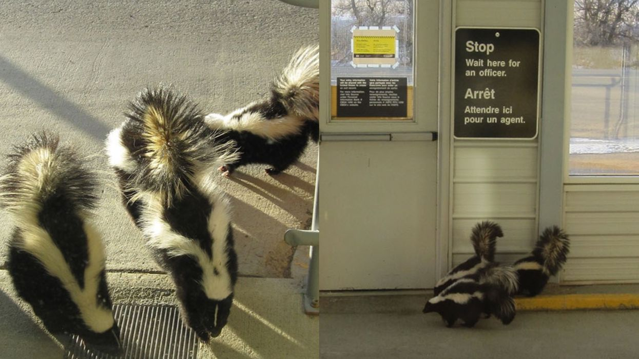 Canada's Travel Rules Were Ignored By A Trio Of Skunks & The Photos Are So Stinking Cute