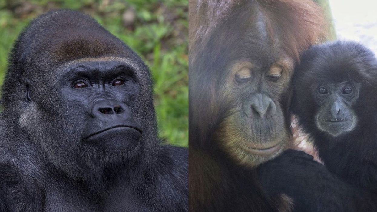 Apes At A California Zoo Just Received A Different Version Of A COVID-19 Vaccine