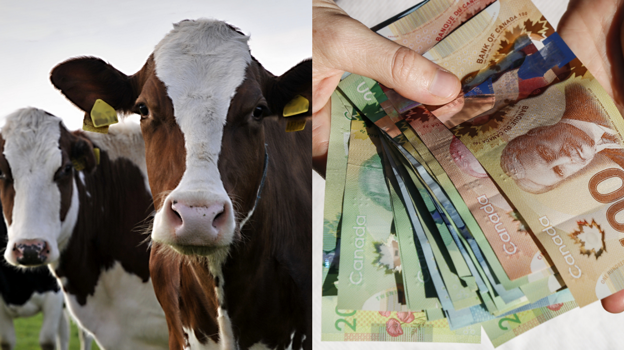 Alberta Lottery Gives This Winner The Choice Between $50k Or A Bunch Of Cows