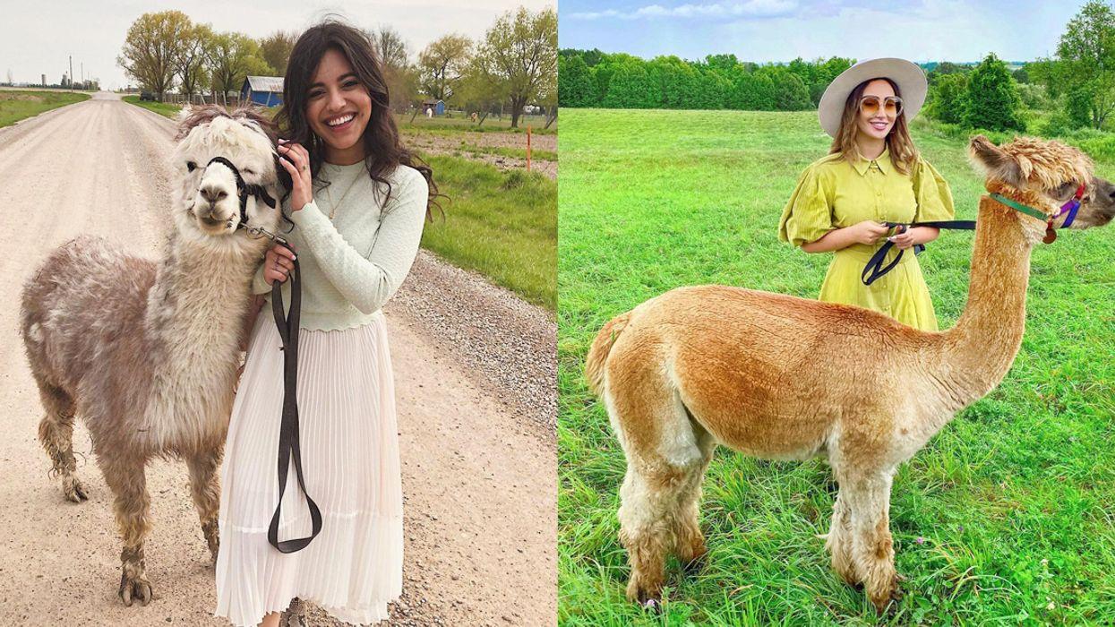 You Can Walk Alpacas At These Adorable Ontario Farms