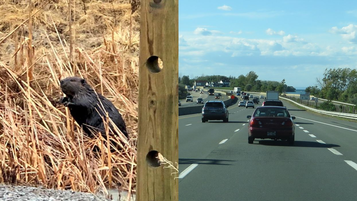Ontario Beaver Wandered Onto A Highway This Morning