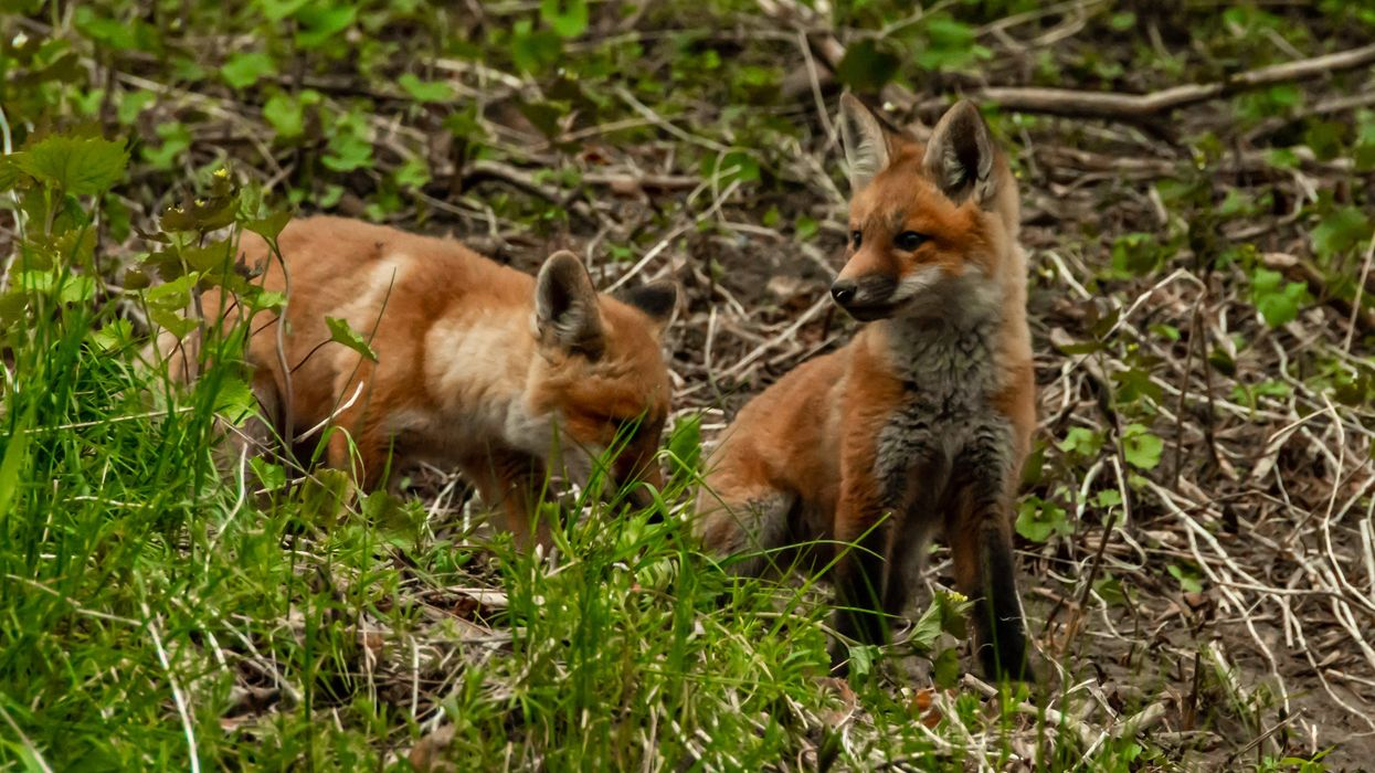 Baby Foxes Are Being Spotted All Across Toronto & The Pics Are Adorable (VIDEO)