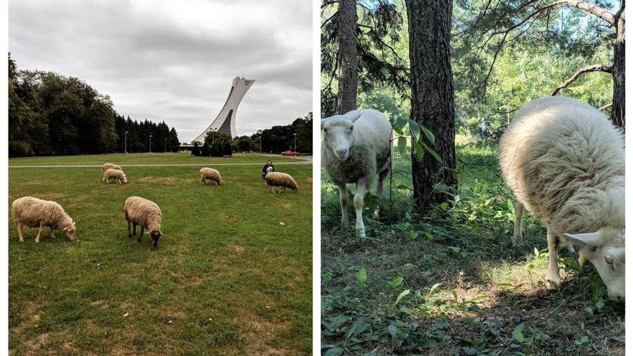 Tu pourrais voir des moutons se pavaner dans ce parc de Montréal cet été et voici pourquoi