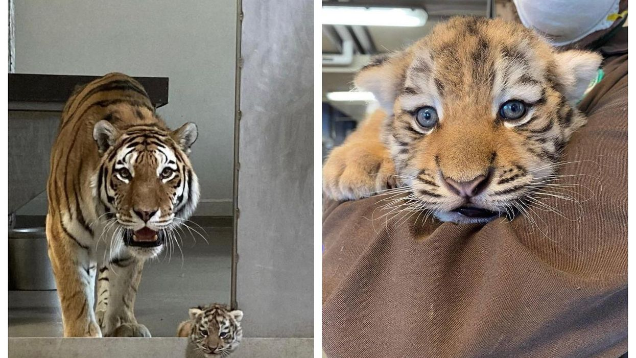 Toronto Zoo Has Rare Tiger Cub On Display For The First Time In Years