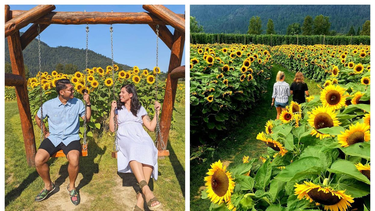 You Can Pick Your Own Flowers At The Chilliwack Sunflower Festival