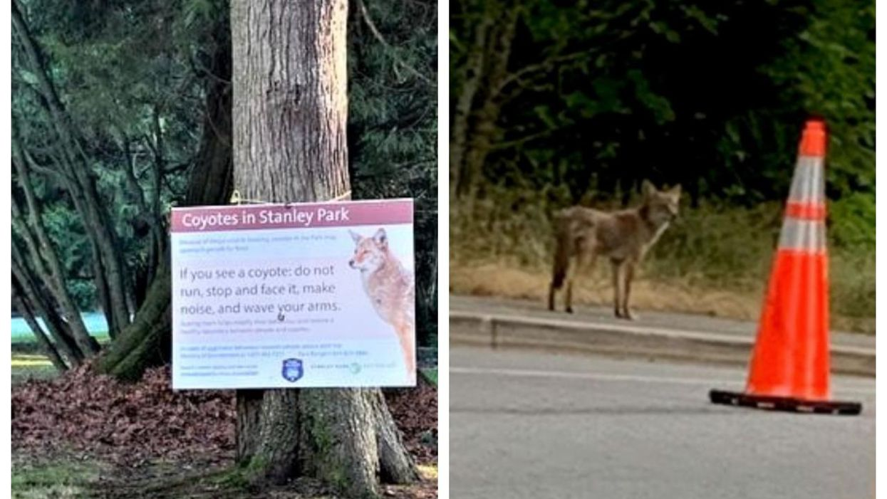 Another Coyote Attack In Stanley Park Just Happened While A Women Was Out Running