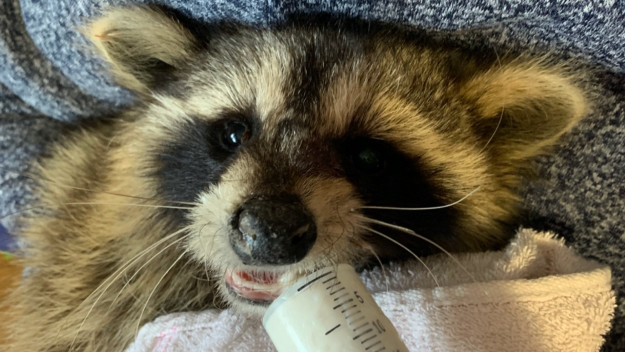 Ontario Raccoon Rescue GoFundMe Will Shut Down Due To Lack Of Funds