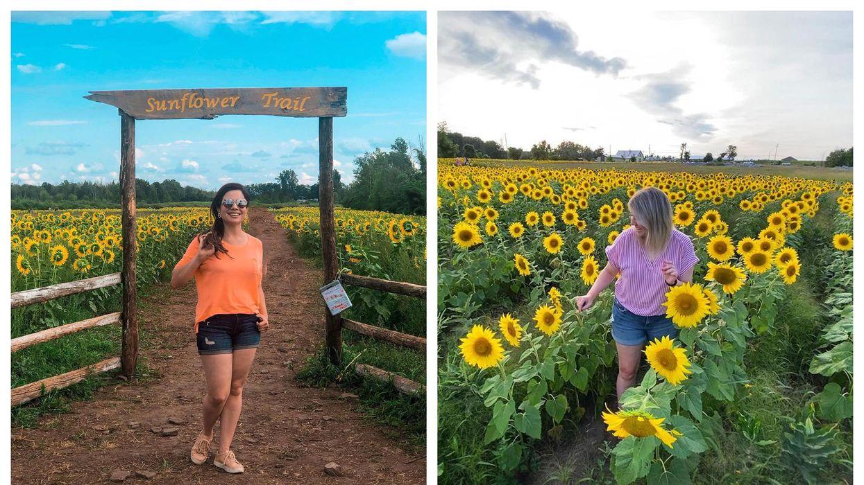 This Hidden Sunflower Field In Ottawa Is Bigger Than Ever