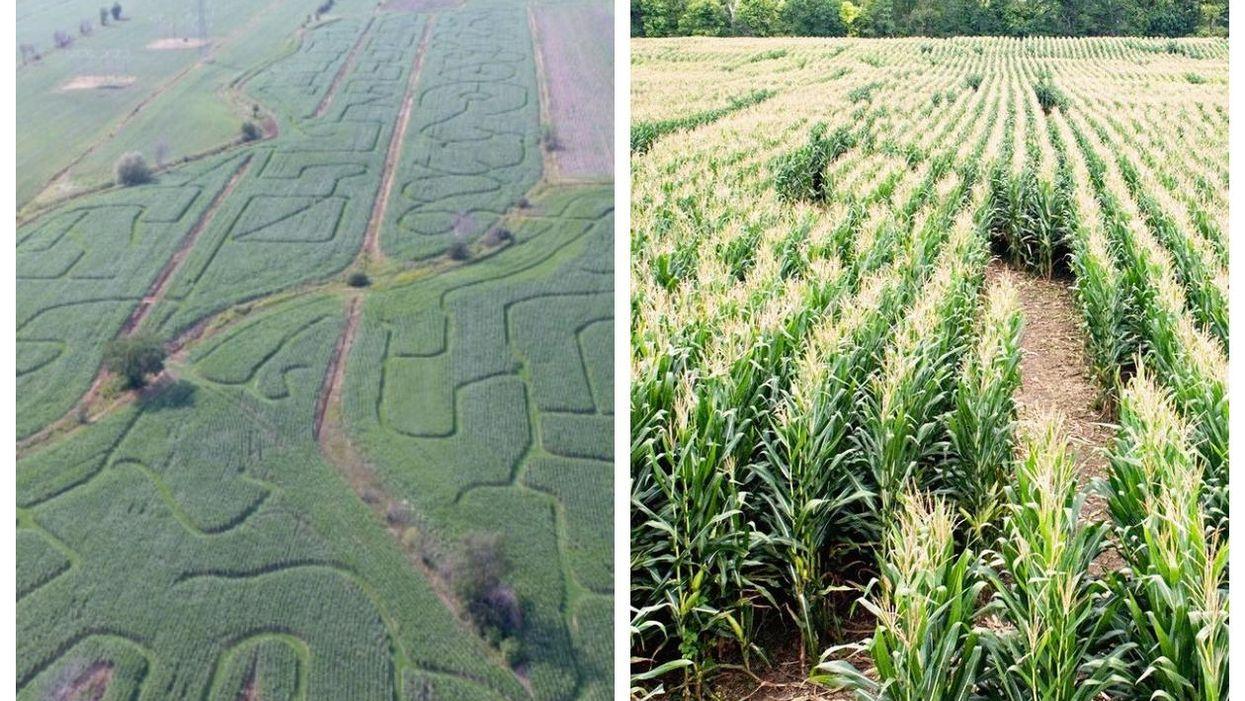 Un labyrinthe de maïs ouvre sur la Rive-Sud de Montréal en août