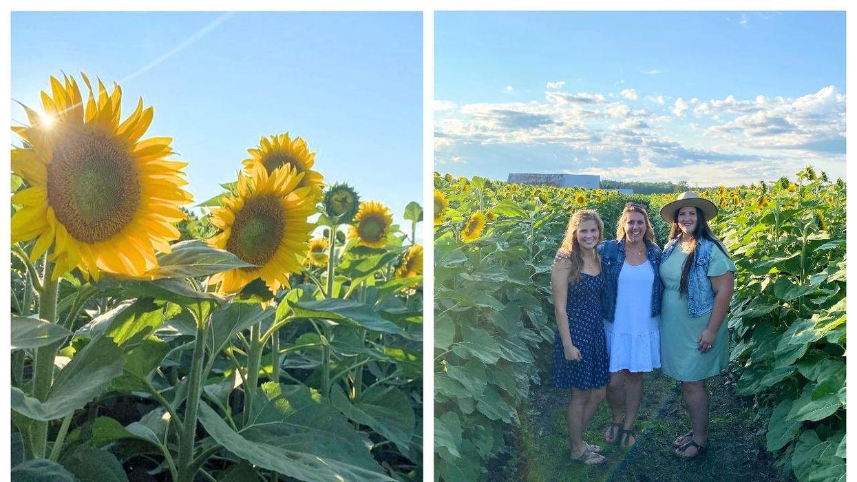 Fields Of Gold Is A Magical New Sunflower Field Near Ottawa