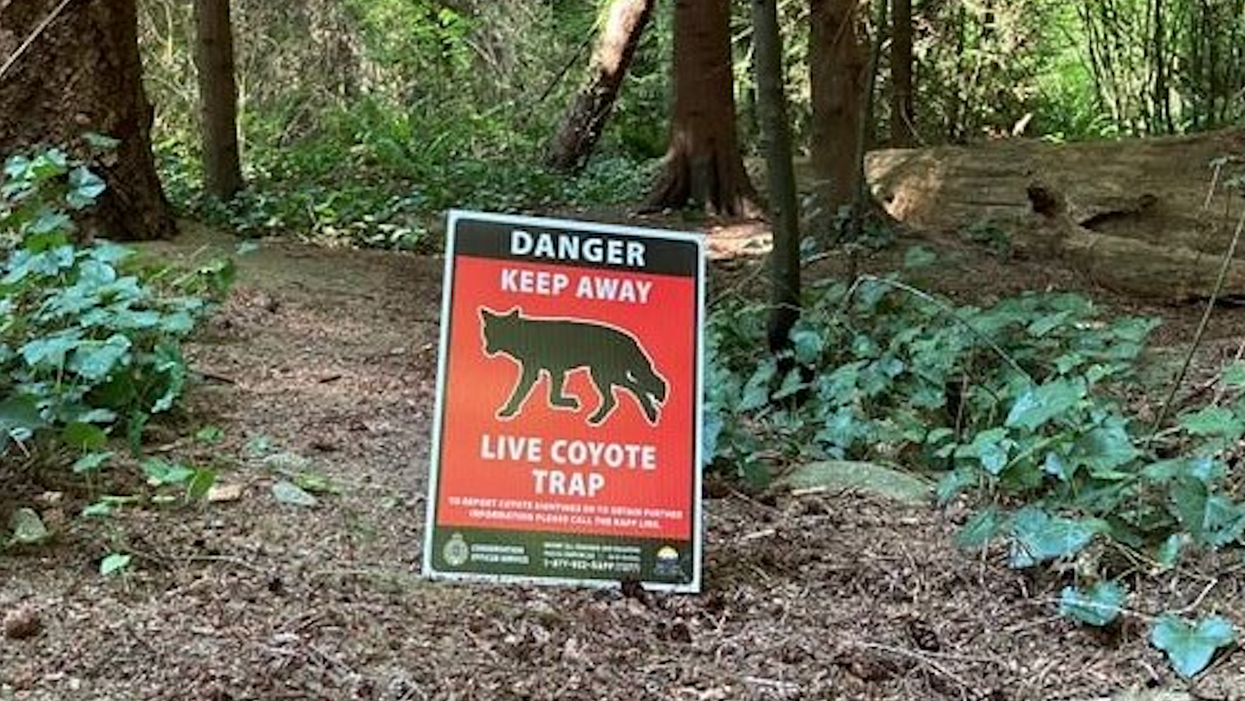 Another Coyote Attack In Stanley Park Sent A 5-Year-Old Boy To The Hospital