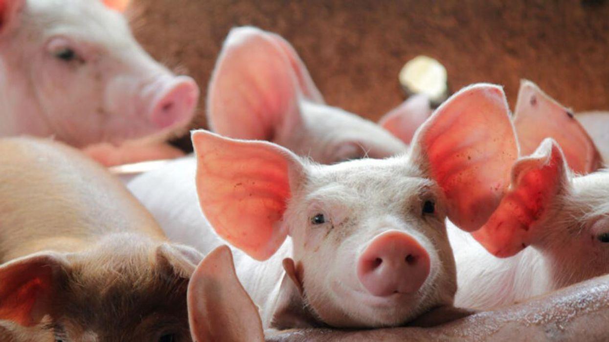 130 000 porcs à l'usine Olymel pourraient être euthanasiés