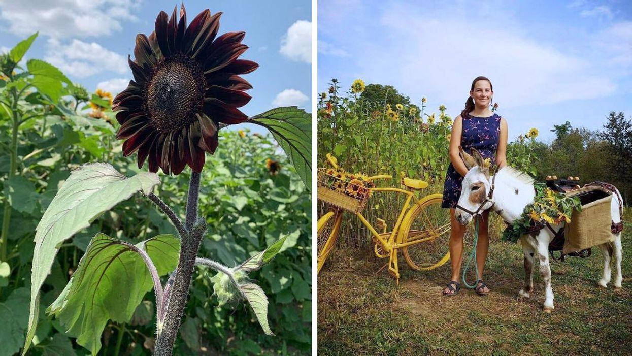 The Elora Sunflower Festival Has Dark Blooms & A Miniature Donkey